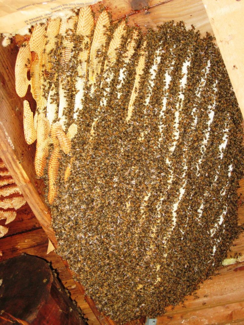 Wild honey bees during colony removal