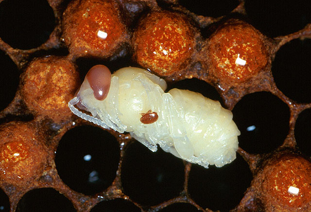 Adult_female_varroa_mite