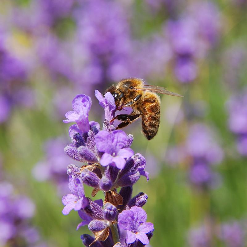 Honey bee on lavender flowers by Luc Viatour