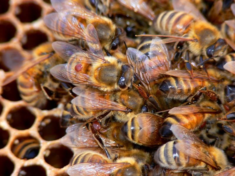 Lewis County Beekeepers' Association - Varroa & OTHER
