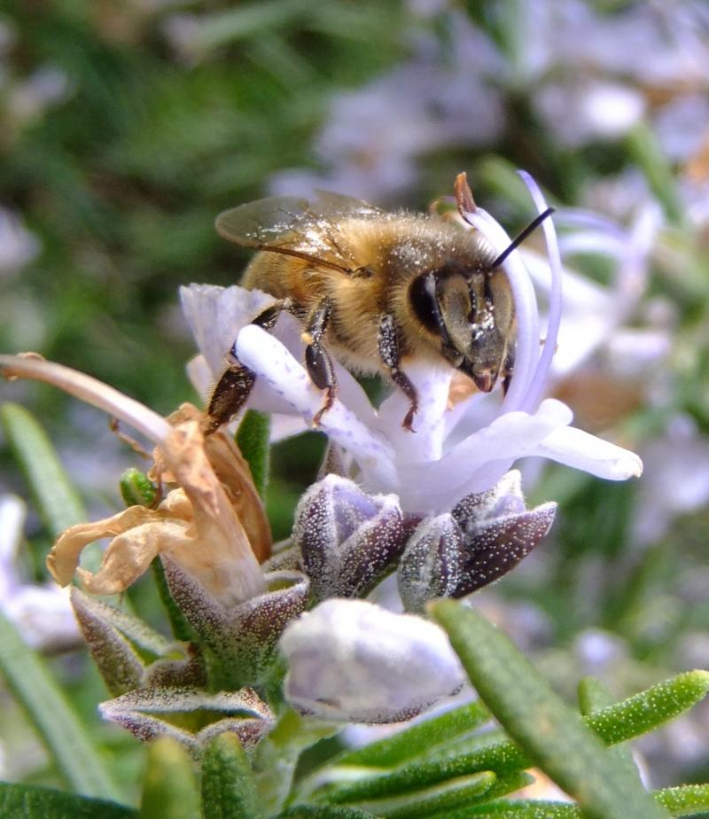 Honey bee on a rosemary flower by Sandy of Bedfordshire