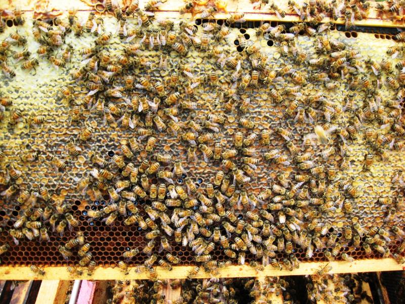 capped honey in the hive