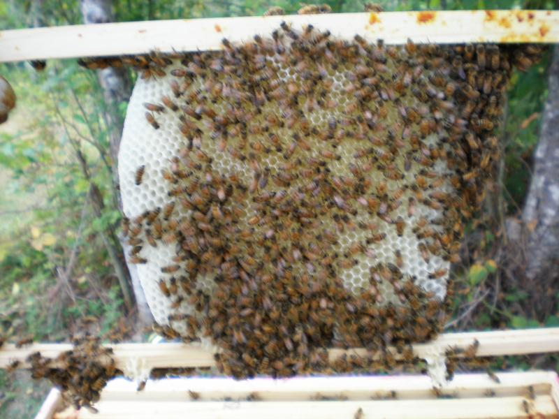Foundationless beekeeping - photo, LCBA member Mike Helms