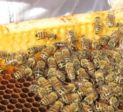 Carniolan queen found in hive inspection