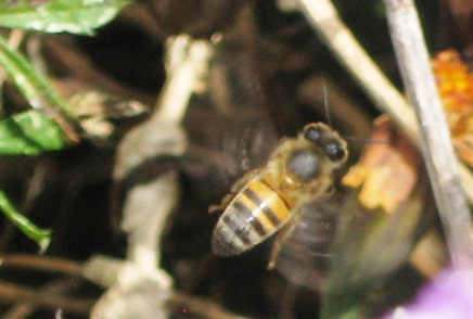 Is it Apis mellifera scutellata - Weil